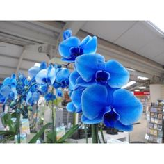 Love these! Blue Orchids'Royal Blue'