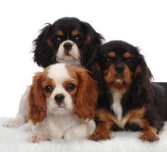 king charles cavalier | What to do when your Cavalier King Charles puppy comes home