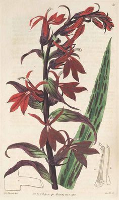 Lobelia cardinalis L. [as Lobelia splendens Humb. & Bonpl. ex Willd.] Cardinal flower. Botanical Register, vol. 1
