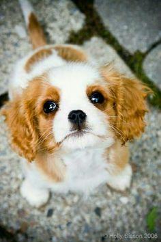 King Charles Puppy dog eyes
