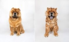Dogs photographed after their baths know how you feel on a bad hair day - Little-g_chow-chow