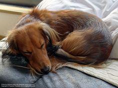 #dachshund #doxiedarlin