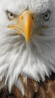 Bald Eagle head close up - keeping a safe and ethical distance from my subject.