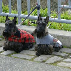 Mom and daughter Scottie Dogs, Scottish Terriers, Terrier Dogs, Baby Dogs, Westies, Little Dogs, Pet Clothes, Puppy Love, Walks