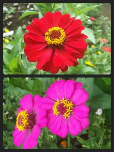 Some of my zinnias ♥