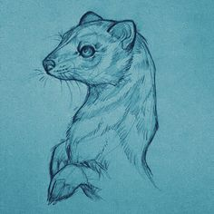 Kärppä ❄️ www.essitattoo.com #stoat #ermine #weasel #drawing #sketches #pencil #sketch #sketchbook #animaldrawing #pencildrawing #illustration #art #essitattoo #tattoodesign #tattooidea #tattooart #tattoosketch #animals #wildlifeart #animaldrawing #piirustus #luonnos #tatuoinnit #illustrator #tattooartist #artistsoninstagram