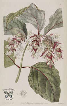 Beautiful Leycesteria. Leycesteria formosa. Edwards's Botanical Register vol. 25 (1839)