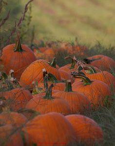 Pumpkin Patch ~ A Short Halloween Story by Sam Stormborn Ormandy #Halloween #Pumpkin #Patch