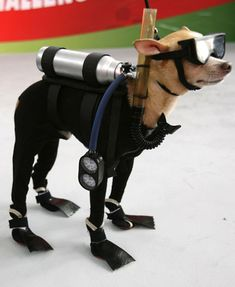 Just when you thought you were hard core, out comes the dog in his scuba suit