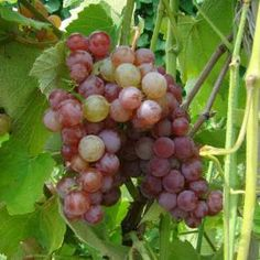 Somerset Seedless Grape - plant these! Aquaponics Fish, Aquaponics System, Aquaponics Greenhouse, Hydroponics, Grape Plant, Berry Plants, Gardening Zones, Growing Grapes, Wine Making