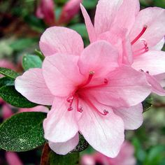 How To Grow And Care For Azaleas In Containers Plants