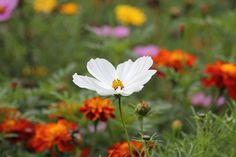 White Blossom, Sea Of Flowers