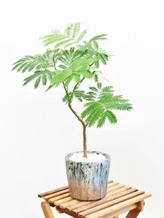 エバーフレッシュ 12163 販売・通販 [詳細ページ] *tree tree* Herb Garden, Indoor Garden, Home And Garden, Potted Trees, Potted Plants, Mini Bonsai, Fern Plant, Green Plants, Live Plants