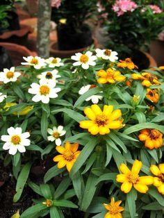 ดอกกระดุมเงินกระดุมทอง ไม้พุ่มคลุมดิน มีดอกขนาดเล็กอยู่รวมกันเป็นช่อกระจุกแน่น ชอบแสงแดดจัด รดน้ำพอประมาณ เป็นต้นไม้ที่ขึ้นง่าย นิยมปลูกเป็นไม้กระถาง Plants, Garden, Tree, Trees To Plant, Flowers