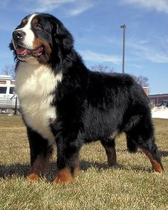 Bernese Mountain Dog.. these gentle giants are great with kids and other pets