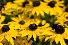 I'm so planting these. Maybe in the white. How to Plant Black Eyed Susan