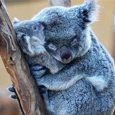Quem gostava ver de perto koalas?   #koalas #cute #instagood #photooftheday #beautiful #travel #traveling #vacation #instatravel #trip #holiday