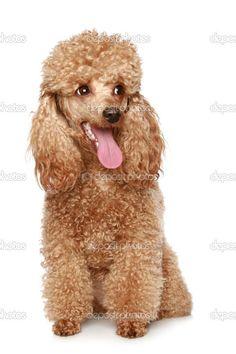 Apricot poodle puppy - Stock Image: 2762655 #poodlepuppy