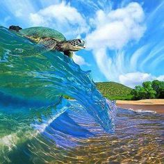 Wow, sea turtle is surfing the wave :) Beautiful Creatures, Animals Beautiful, No Wave, Cute Turtles, Baby Sea Turtles, Turtle Love, Turtle Beach, Wale, Tortoise Turtle