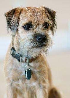 9 Months Old Border Terrier