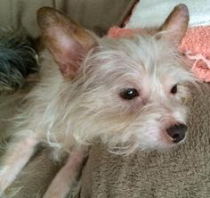 Meet TIPPY, a Petfinder adoptable Yorkshire Terrier Yorkie Dog | Oakland, CA | AUG 2014: Calm, affectionate 10# girl is a warm bedmate, sleeping through the night cuddled up to...