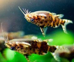 Upside Down Catfish (Synodontis nigriventris)