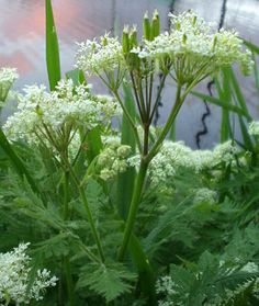 Myrrhis odorata (sweet cicely)