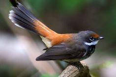 Rufous fantail bird
