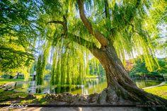 Wispering-Willow-Tree-Boston-Public-Garden by CaptainKimo on DeviantArt