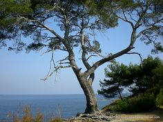 Pinie auf der Insel Ste-Marguerite