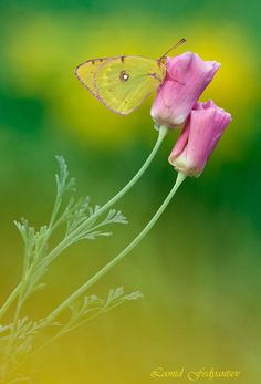 The Danube Clouded Yellow (Colias myrmidone) is a butterfly in the Pieridae family