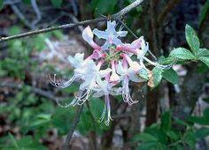 Native Azalea | Walter Reeves: The Georgia Gardener