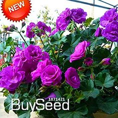 Cheap geranium seed, Buy Quality perennial flower seeds directly from China flower seeds Suppliers: Hot Sale! 20 Pcs Purple Univalve Geranium Seeds Perennial Flower Seeds Pelargonium Peltatum Seeds for Indoor Rooms ME Water Flowers, Tulips Flowers, Flowers Nature, Planting Flowers, Carnation Plants, Orchid Plants, Garden Insects, Home Garden Plants, Flower Seeds