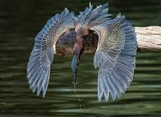 Resultado de imagen para green heron