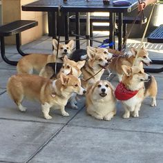chompers the corgi   This is how we roll.  #SquadGoals...