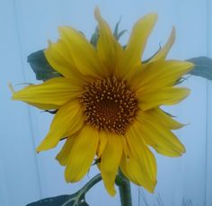 First sunflower of the year 07/26/12
