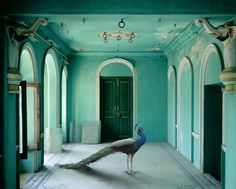 Stunning image by photographer Karen Knorr. She traveled to North India to photograph some of India's most beautiful forts and palaces and then digitally inserted photographs of animals.(The Queen's Room, Udaipur City Palace. Palaces, Vincent Van Gogh, Casa Pop, Living Colors, Queen Room, Peacock Colors, Peacock Room, Peacock Blue, Peacock Art