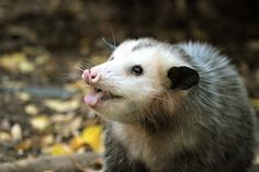 Cute photo of an opossum sticking out his tongue!!   by: Tanisha Harmon