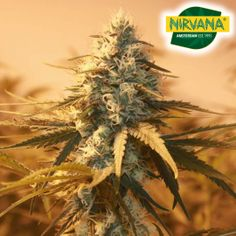 Nicole Kush is a predominantly Indica strain. A perfect strain for someone who's looking for a high that's not too overwhelming. Buy Weed Seeds, Cannabis Seeds For Sale, Nirvana, Indica Strains, Seeds Online, Seed Bank, Growing Seeds, South Africa, Grow Shop