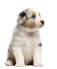 6 pet health conditions that could affect your Australian Shepherd
