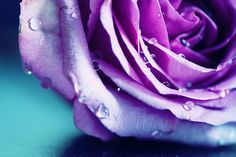 What lies before us and what lies behind us are small matters compared to what lies within us. Lavender Roses, All Things Purple, Before Us, Shades Of Purple, Rose Petals, Pretty Flowers, Color, Aqua, Mint