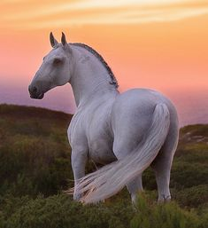 Sunset Lusitano stallion. photo: Rita Fernandes.