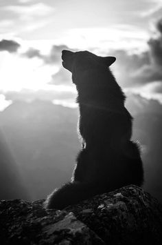 Evening Wolf call on the mountain. Beautiful