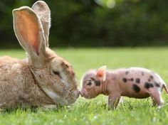 15 raisons d'adopter maintenant, tout de suite un mini-cochon