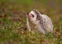 Pygmy Hedgehog Pictures Taken in the Wilds of Africa