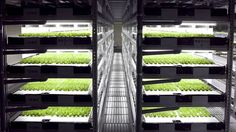 Food safety concerns and produce scarcity are among the drivers of an increase in indoor agriculture in Japan. Melinda Joe tracks the rise of vertical farming Indoor Farming, Indoor Vegetable Gardening, Growing Lettuce, Head Of Lettuce, Backyard Aquaponics, Hydroponic Gardening, Aquaponics Fish, Vertical Hydroponics, Urban Agriculture