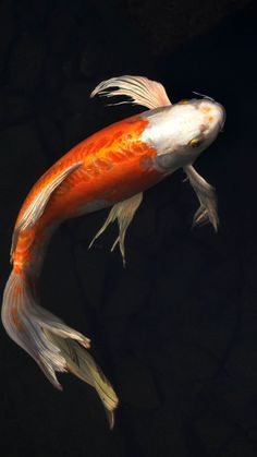 Check out this awesome collection of Koi iPhone wallpapers, with 15 Koi iPhone wallpaper pictures for your desktop, phone or tablet. Goldfish Wallpaper, Koi Wallpaper, Animal Wallpaper, Iphone Wallpaper, Koi Art, Fish Art, Coy Fish, Betta Fish, Iphone Background Images