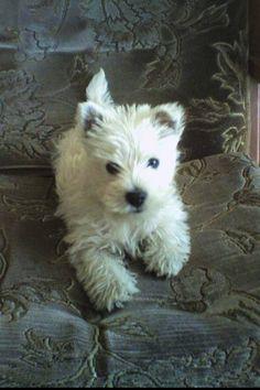West Highland White Terrier #Dogs #Westie