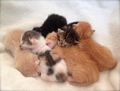 cat mama kittens at Langley Animal Protection Society