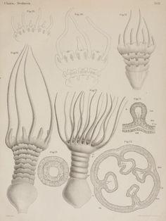 Untersuchungen über die organisation und entwicklung der medusen, - Biodiversity Heritage Library